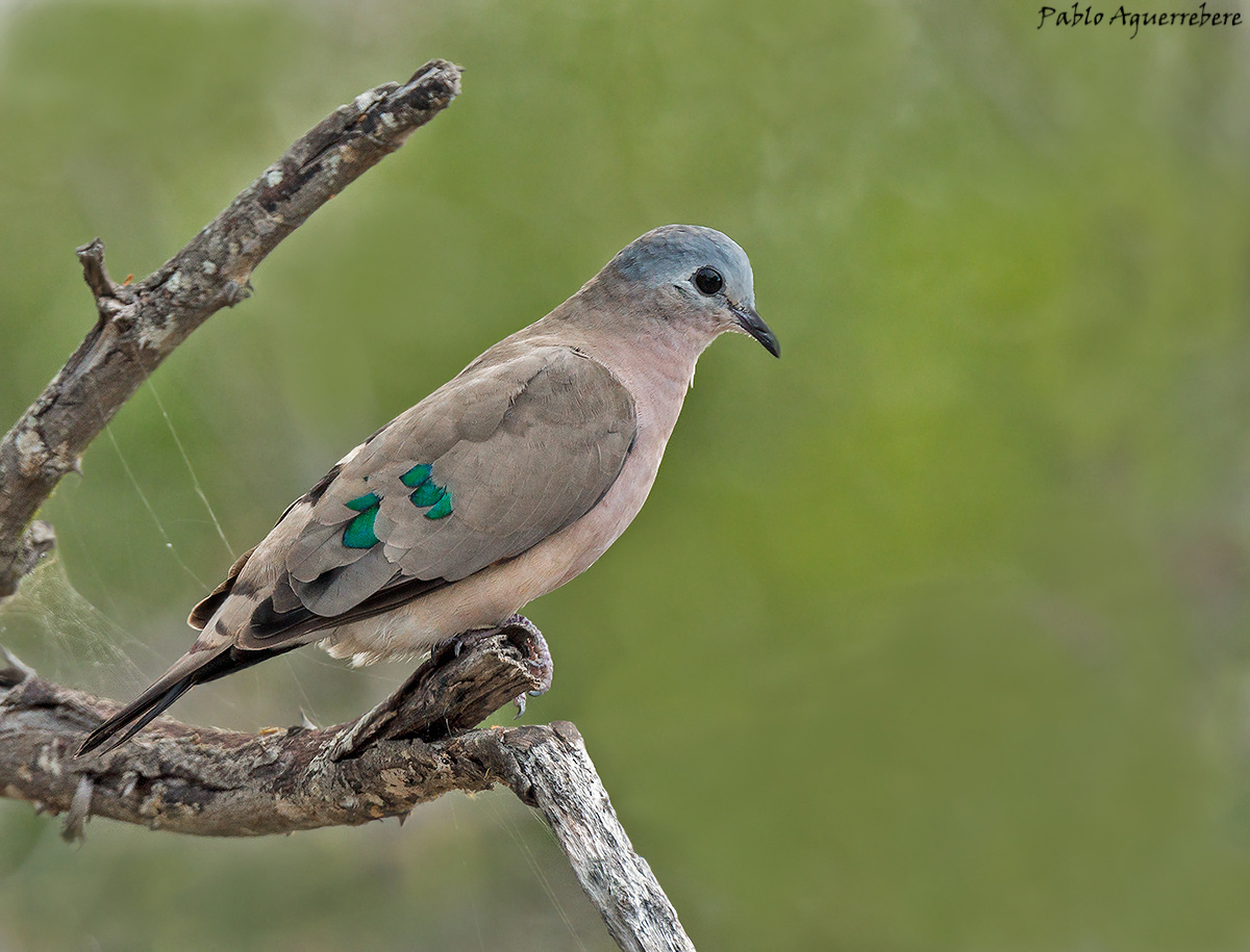 Emerald Spotted Wood-Dove (chalcospilos de Turtur)