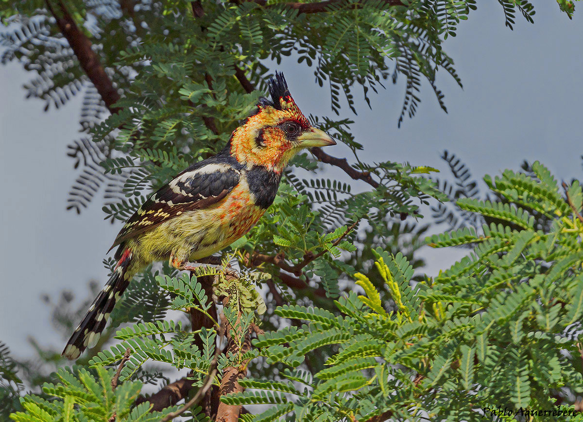 The crested barbet (Trachyphonus vaillantii)
