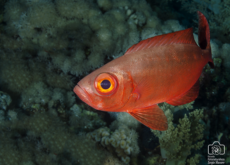 Big Eye rojo(Priacanthus arenatus)