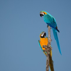 Ara ararauna (Guacamayo Azulamarillo; Blue-and-yellow Macaw)